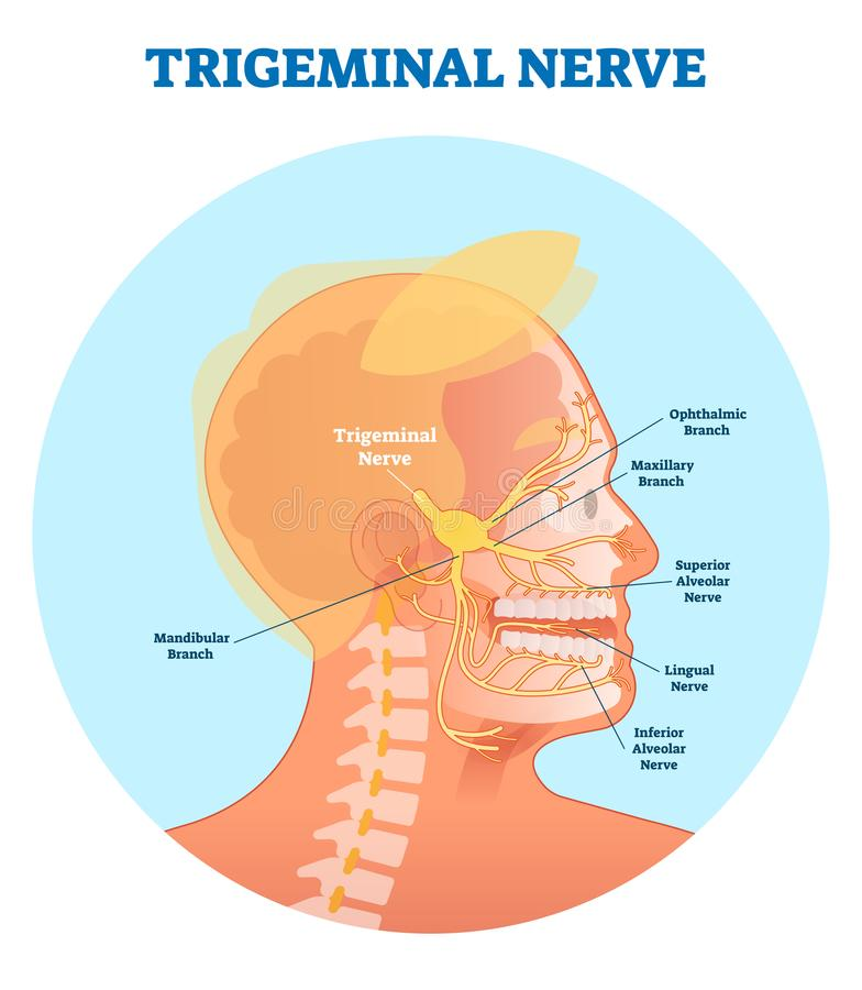 Trigeminal nerve anatomical vector illustration diagram with human head cross section. Medical nerve scheme vector illustration