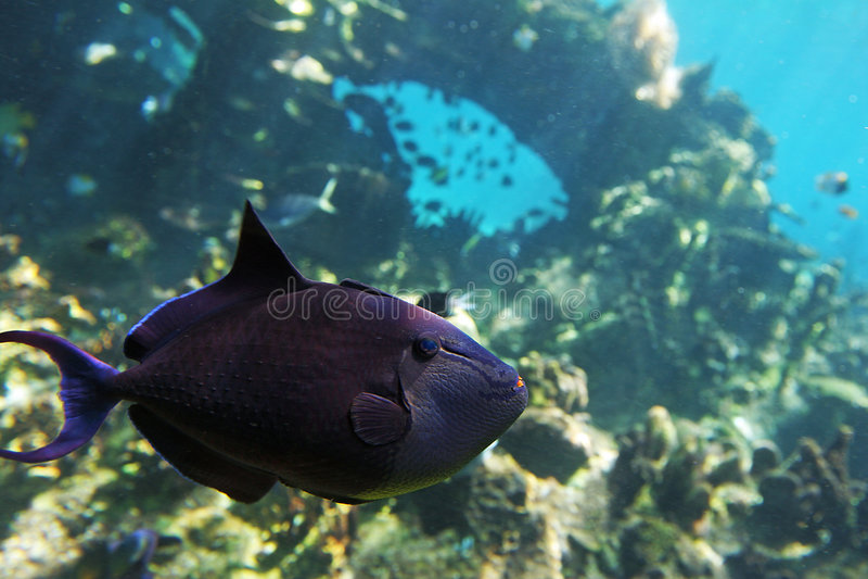 trigfish 免版税图库摄影