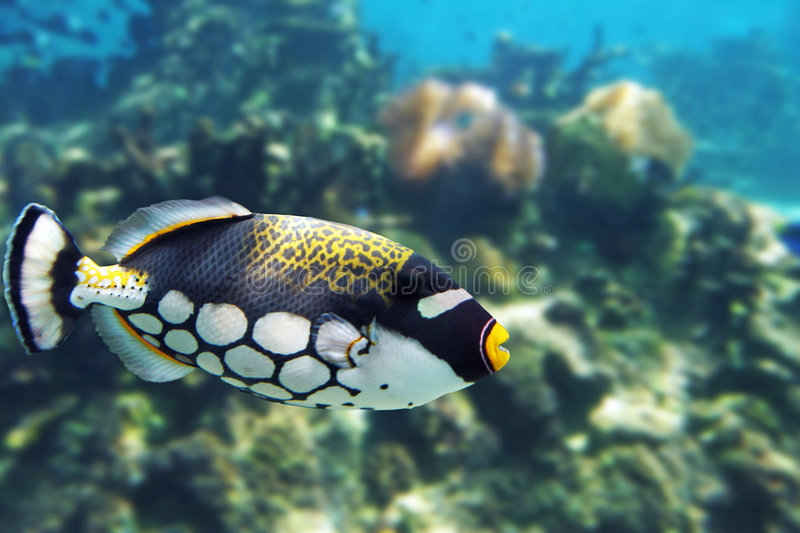 Download Trigger stock image. Image of coral, fish, snorkel, balistoides - 3595037