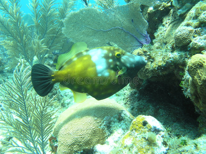 Trigger fish royalty free stock photos