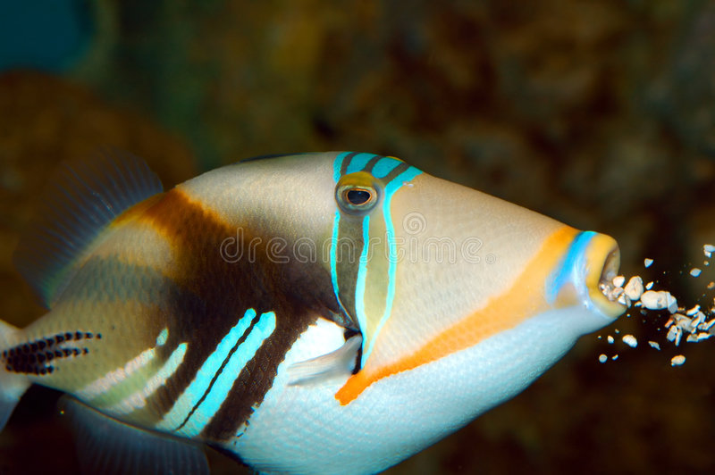 Download Trigger Fish stock image. Image of swim, puffer, spotted - 2311473