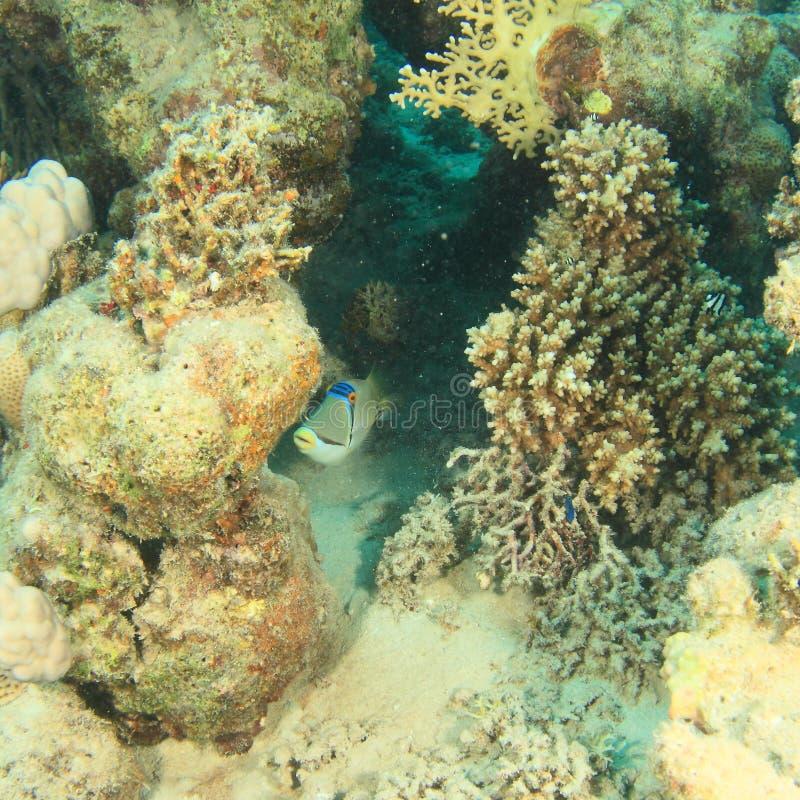 Triggerfish árabe de Picasso fotografia de stock royalty free