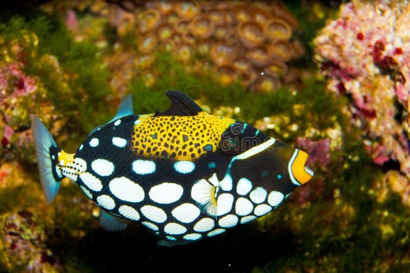 Triggerfish клоуна стоковые изображения rf