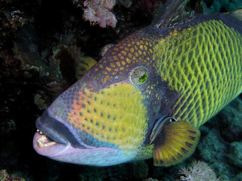 Triggerfish imagenes de archivo
