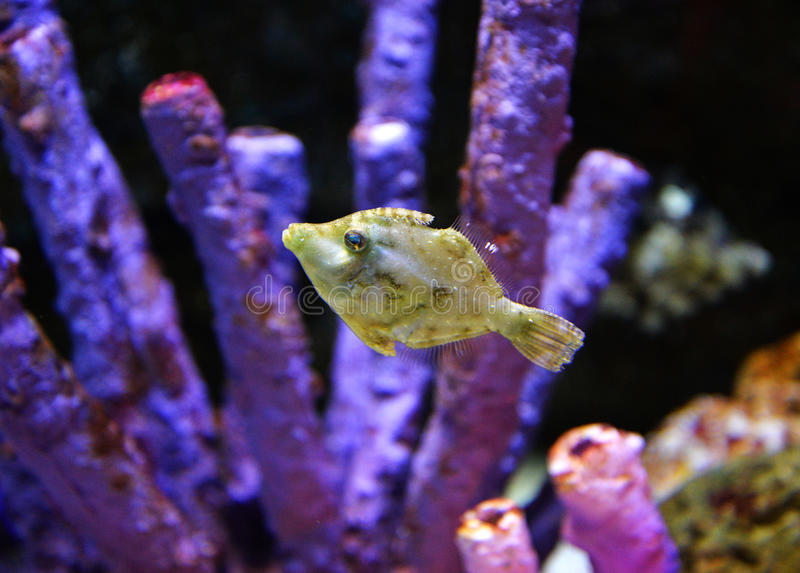 Triggerfish foto de stock