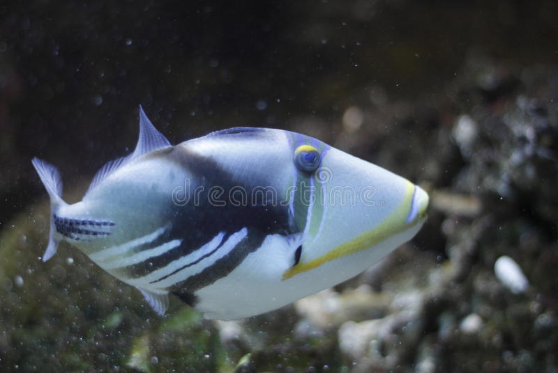 Triggerfish da lagoa imagens de stock royalty free