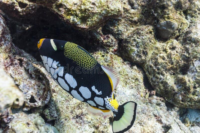 Triggerfish de clown à l'île de Similan photographie stock
