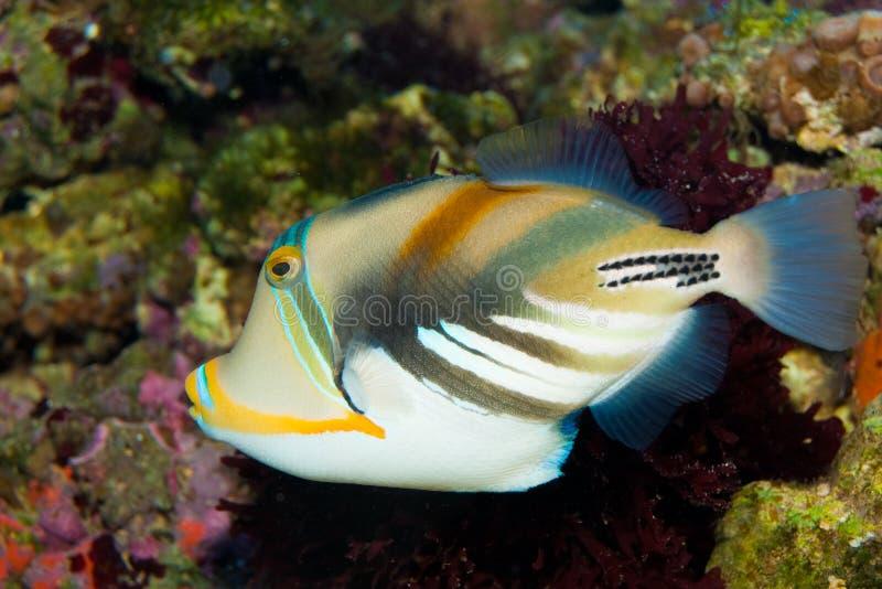 Triggerfish de Picasso photographie stock