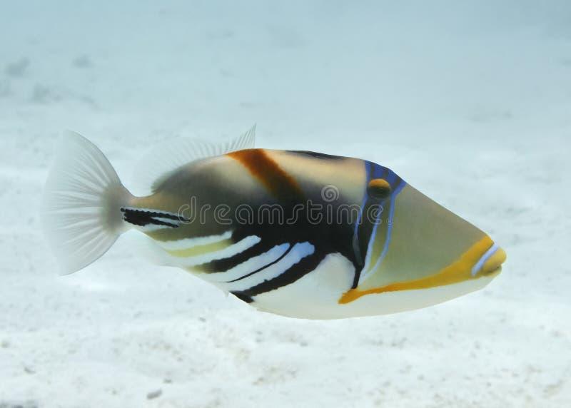 Triggerfish de Picasso imagem de stock