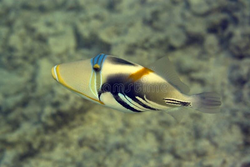 Triggerfish de Picasso photographie stock libre de droits