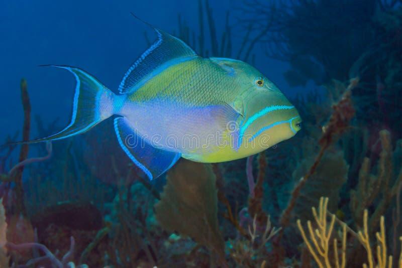 Triggerfish de rainha fotografia de stock