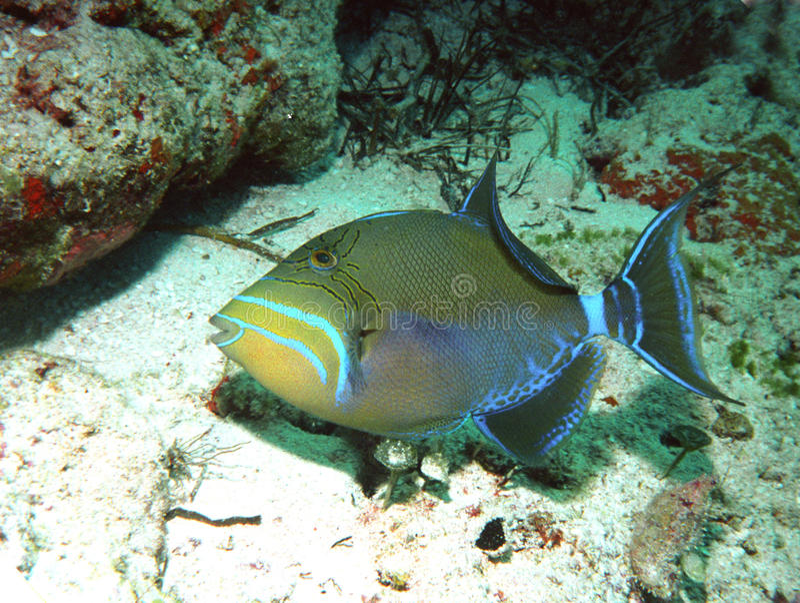 Triggerfish de reine photographie stock