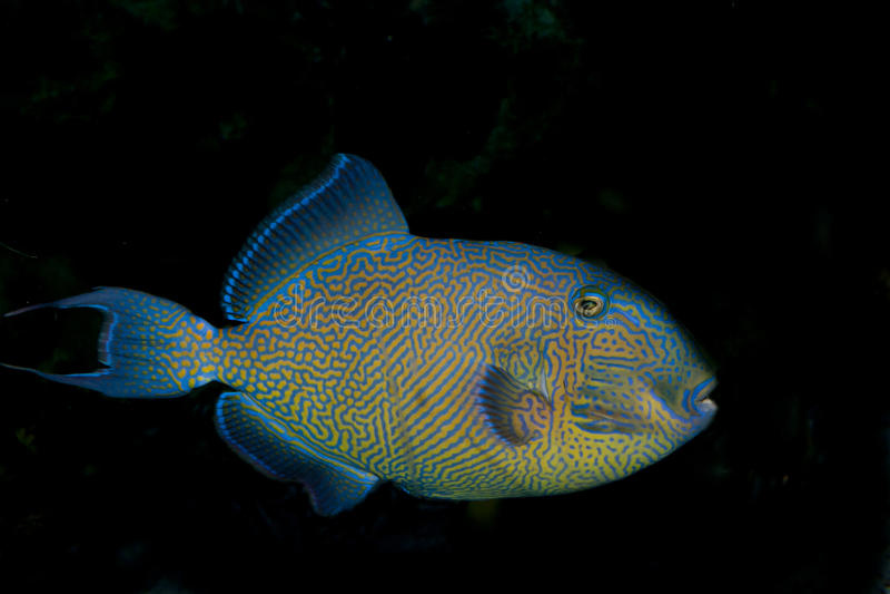 Triggerfish de Yellowspotted (fuscus de Pseudobalistes) imagem de stock royalty free