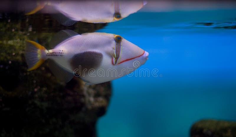 Triggerfish di Blackbelly immagine stock