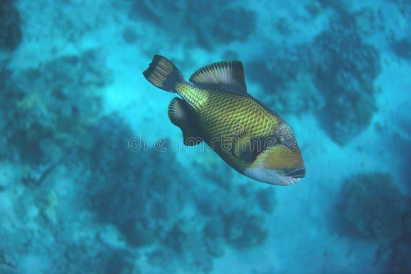 Triggerfish do titã fotografia de stock royalty free