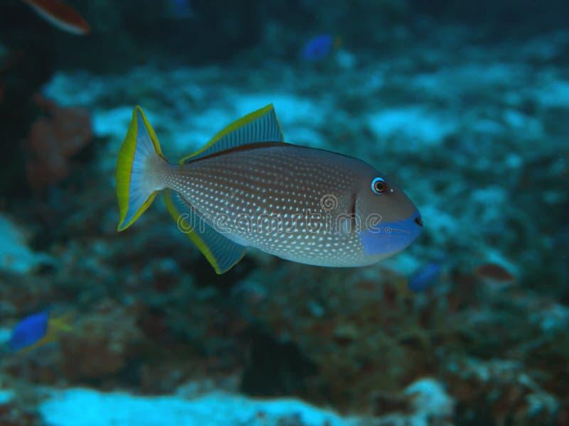 Triggerfish doré image libre de droits