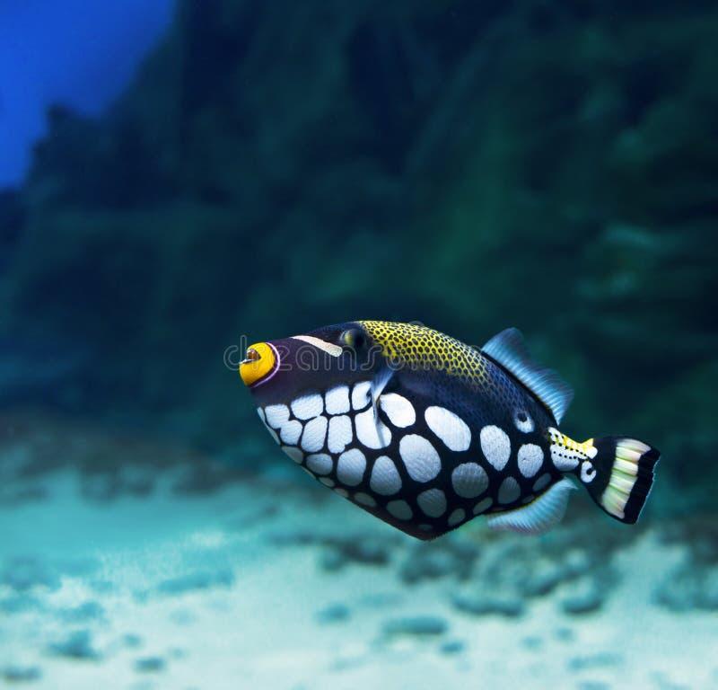 Triggerfish (kruisboog-Clown, Balistoides Conspicillum) stock fotografie