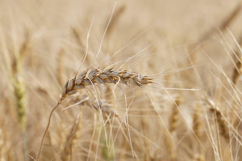 Download Trigo foto de stock. Imagem de colheita, estação, fundo - 26520940
