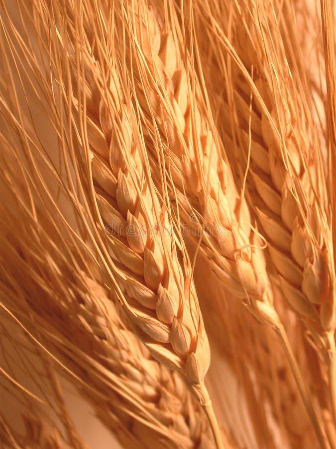 Download Trigo imagem de stock. Imagem de trigo, nave, dourado, detalhe - 52451