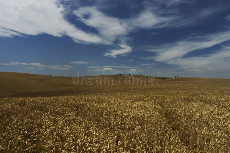 Trigo blando completamente cultivado en los campos moravianos foto de archivo libre de regalías