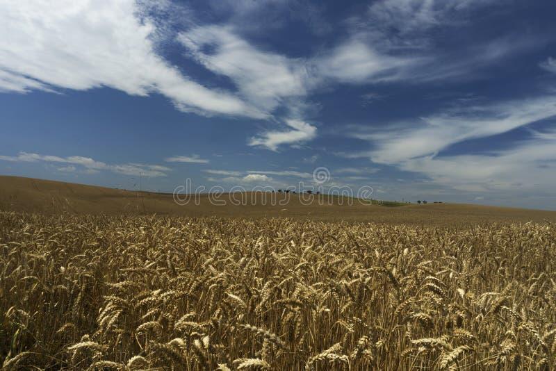 Trigo blando completamente cultivado en los campos moravianos foto de archivo