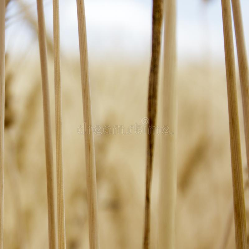 Trigo, campo, espiguillas, de oro, fondo, cosecha, naturaleza, grano, maduro, verano, granja, cosecha, paisaje, agricultura, herm fotos de archivo