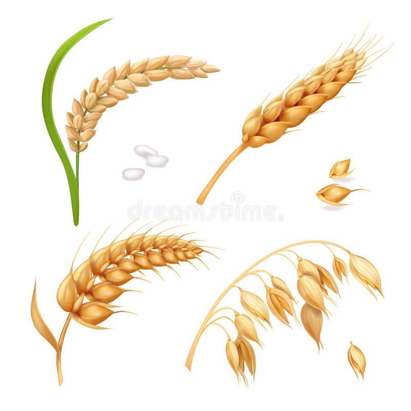 Trigo, cevada, arroz e aveia As orelhas vector o grupo ilustração stock