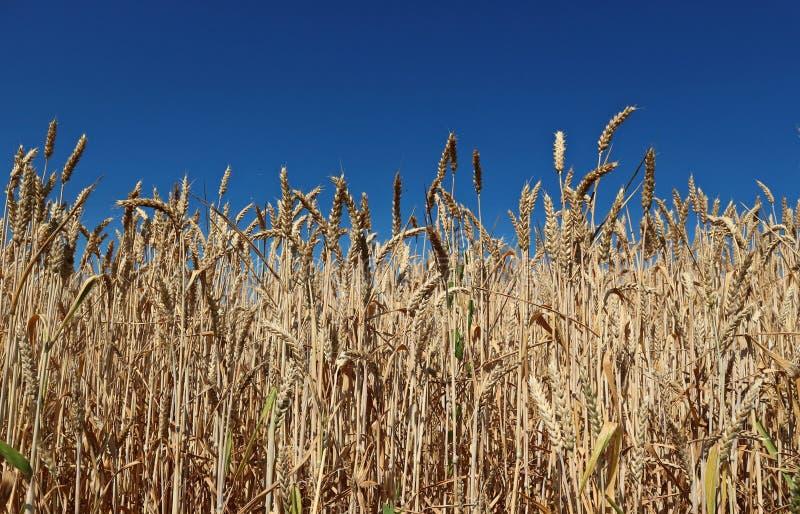 Trigo comum maduro, aestivum do Triticum, sob um céu azul do verão sem nuvens fotografia de stock royalty free