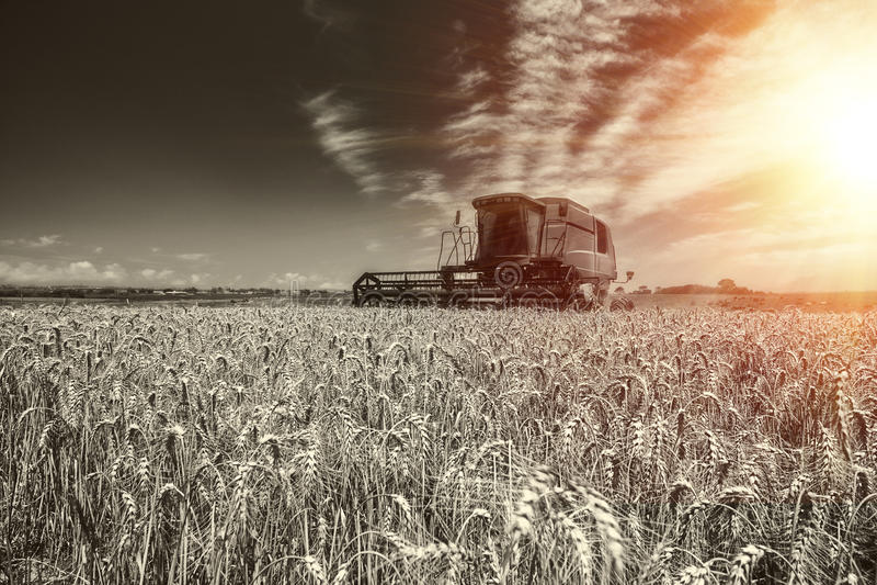Trigo da colheita imagens de stock royalty free