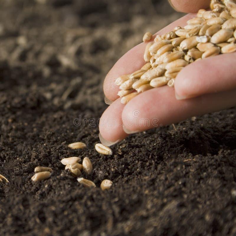 Trigo da sementeira imagem de stock