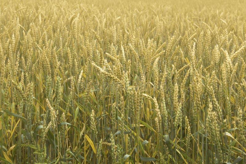 Trigo de amadurecimento no campo Spikelets do trigo Colheita da gr?o no ver?o imagens de stock royalty free