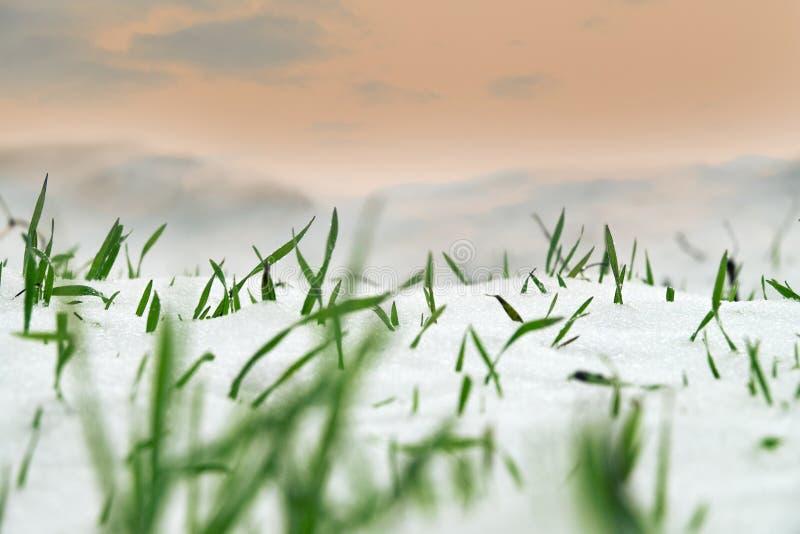 Trigo de inverno sob a primeira neve imagem de stock royalty free