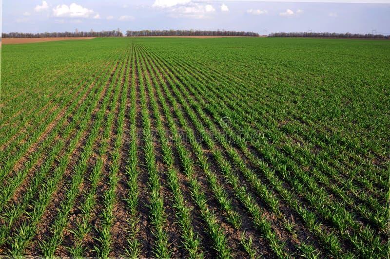 Trigo de inverno sowings_15 imagem de stock
