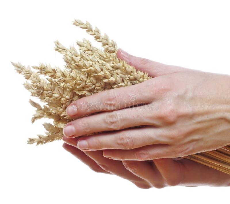 Trigo de la explotación agrícola de la mano fotos de archivo
