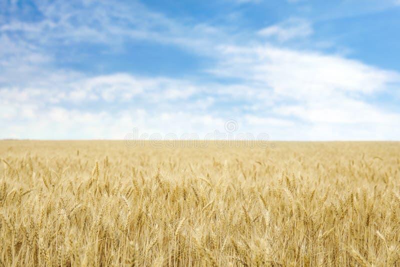 Trigo de oro en campo de grano imagen de archivo