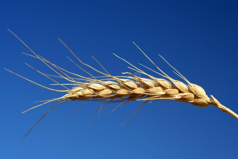 Download Trigo del grano foto de archivo. Imagen de cereales, germen - 176328
