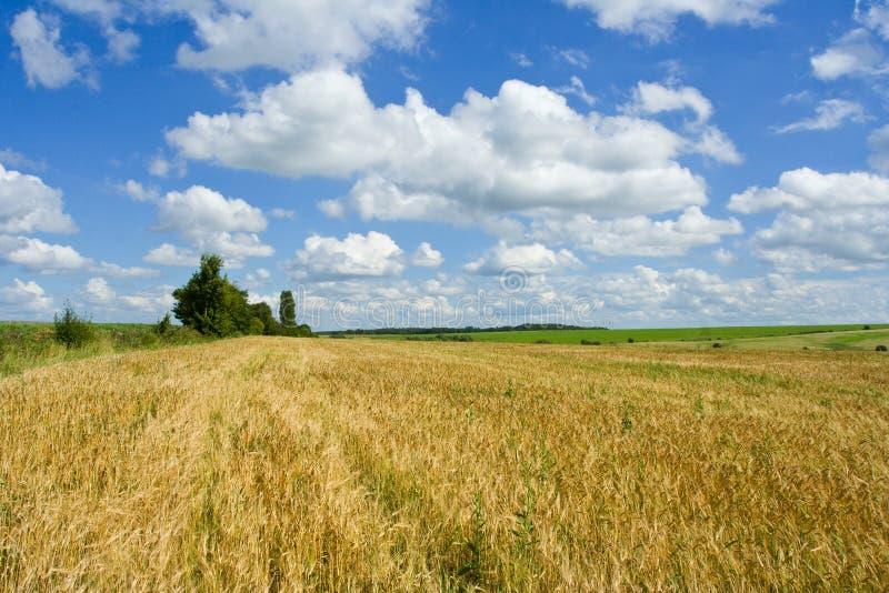 Trigo del oro y cielos azules foto de archivo libre de regalías