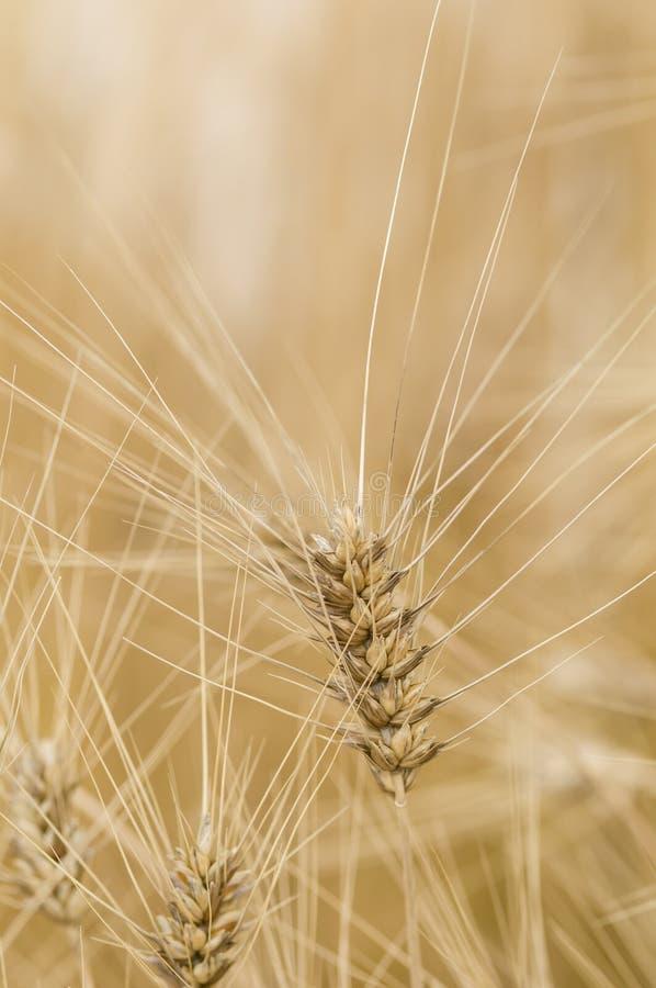 Trigo do macarrão do trigo duro, aestivum do Triticum fotos de stock royalty free