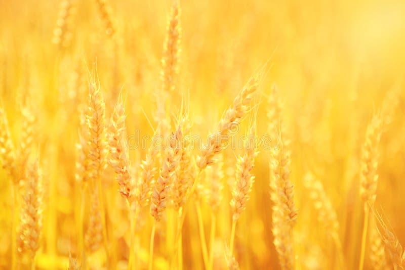 Trigo dourado fotos de stock