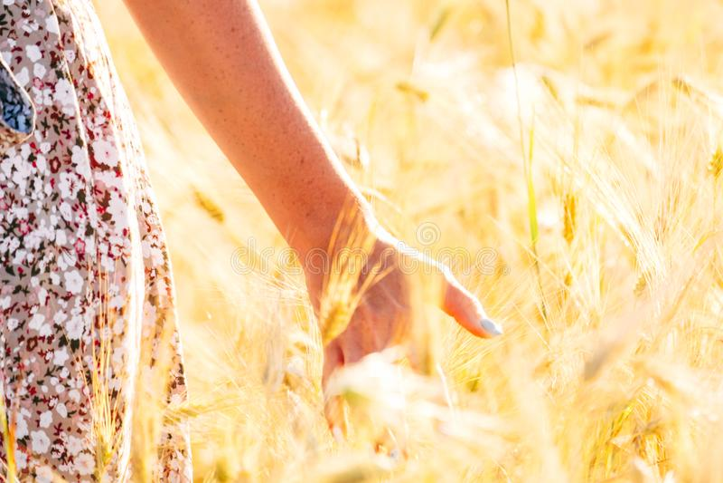 Trigo dourado tocante da mão da mulher imagem de stock royalty free