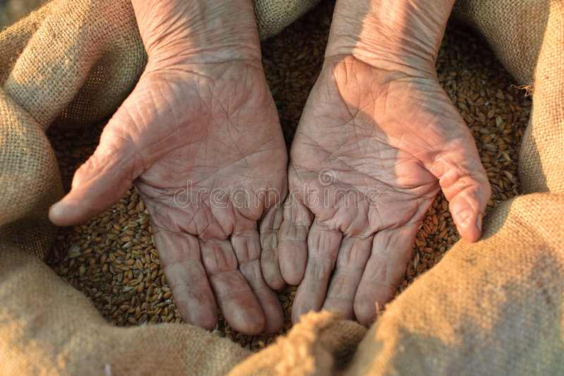 Trigo e mãos do fazendeiro idoso imagens de stock
