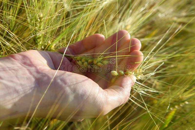 Trigo en la palma en el campo en verano imágenes de archivo libres de regalías