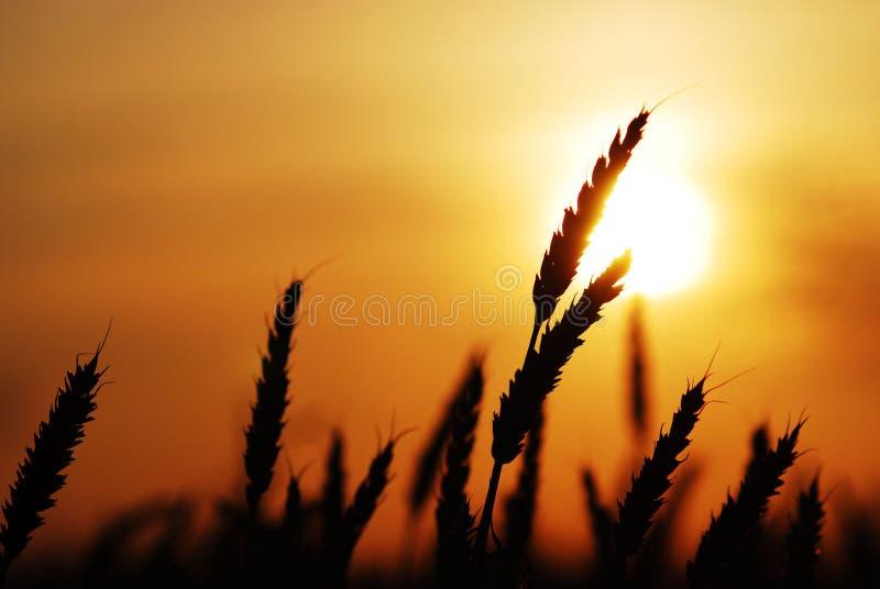 Trigo en la puesta del sol imágenes de archivo libres de regalías