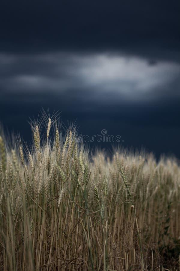 Trigo en una tormenta imagen de archivo
