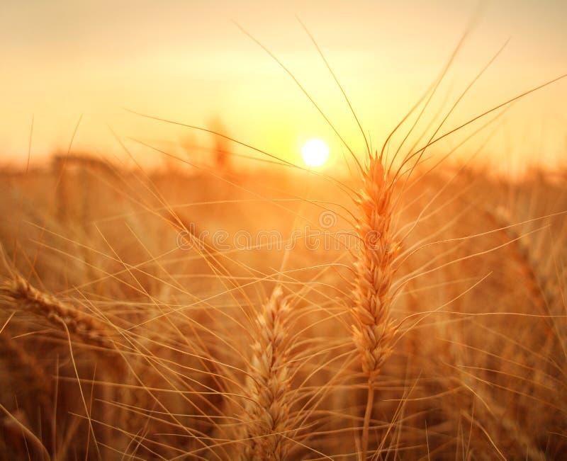 Trigo maduro de los granos y de los troncos del campo de trigo en la puesta del sol dramática del fondo, cosecha de grano de las  foto de archivo