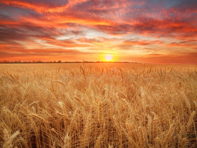 Trigo maduro de los granos y de los troncos del campo de trigo en la puesta del sol dramática del fondo, cosecha de grano de las  fotos de archivo