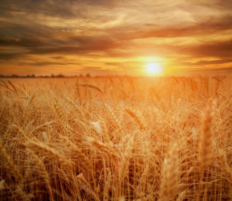 Trigo maduro de los granos y de los troncos del campo de trigo en la puesta del sol dramática del fondo, cosecha de grano de las  foto de archivo libre de regalías