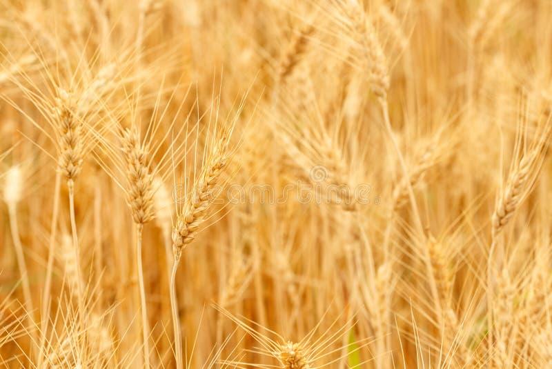Trigo maduro que crece en un campo de trigo imágenes de archivo libres de regalías