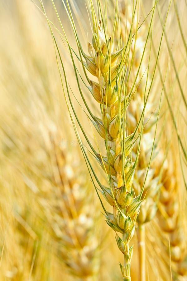 Trigo maduro que crece en un campo de trigo fotografía de archivo libre de regalías