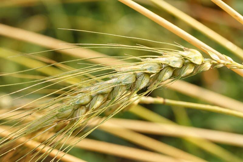 Trigo maduro que crece en un campo de trigo fotos de archivo libres de regalías